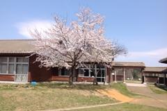 4月の桜002